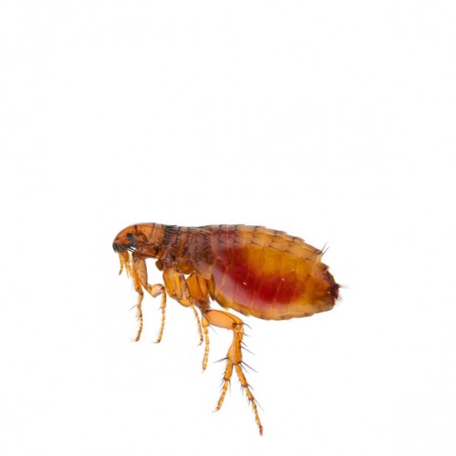 fleas-rescaled-updated